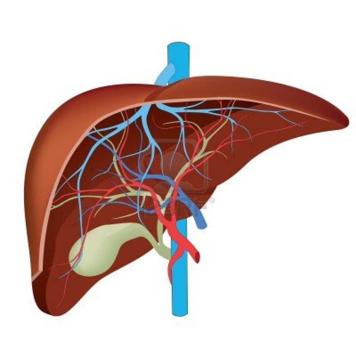 En el futuro los hígados creados en impresoras 3D tal vez sean ocupados en trasplantes.