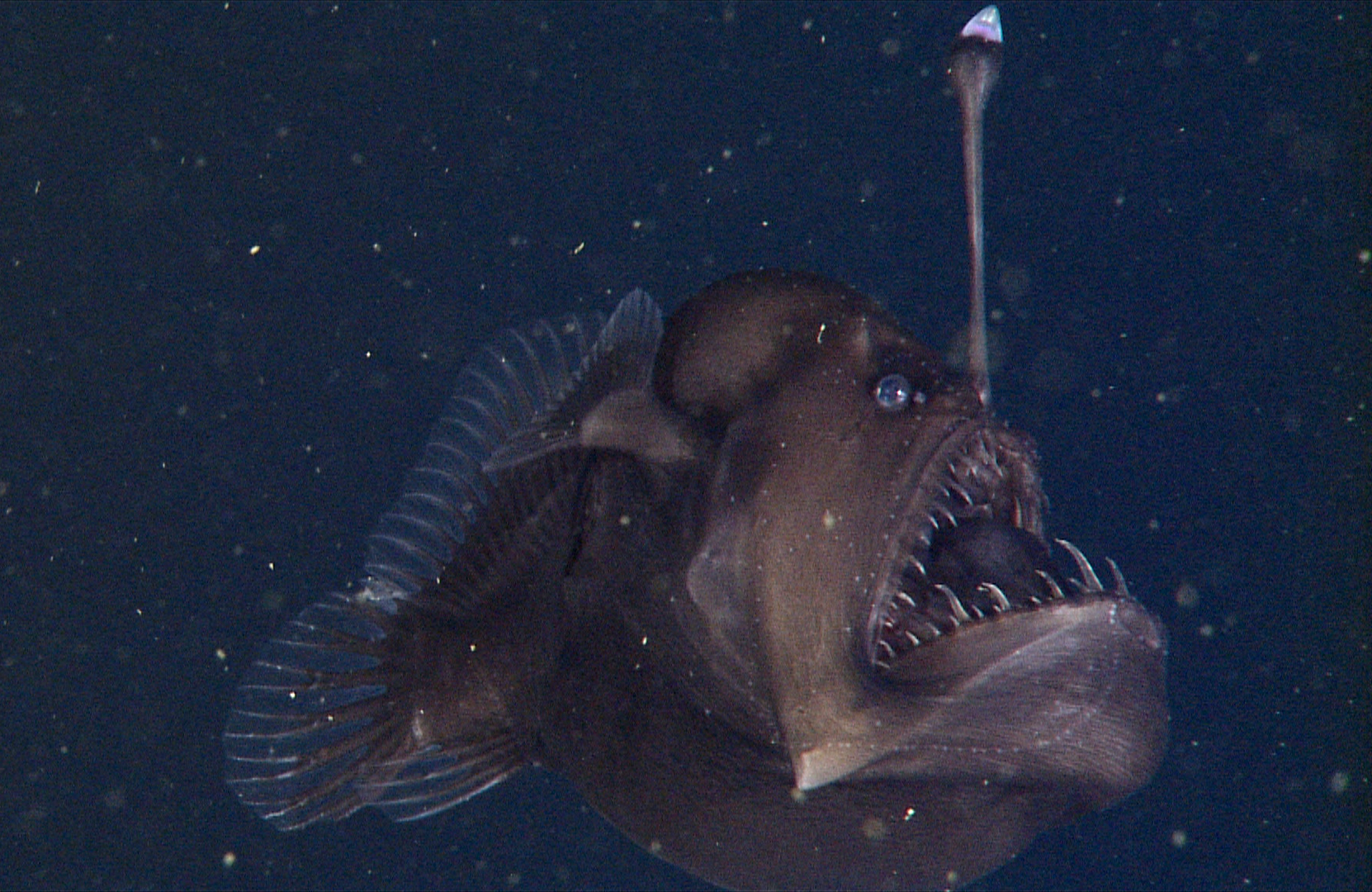 El monstruo negro del mar en su reciente registro audiovisual.