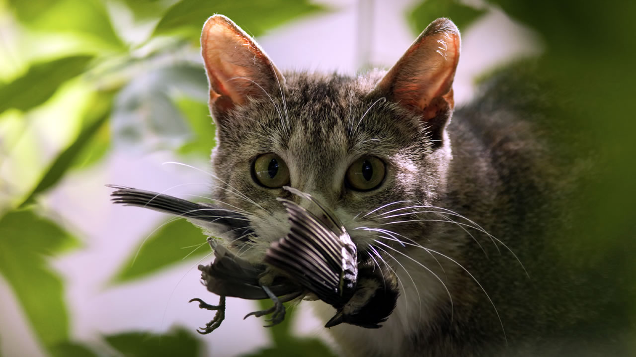 Australia creó su primera zona libre de gatos por protección.