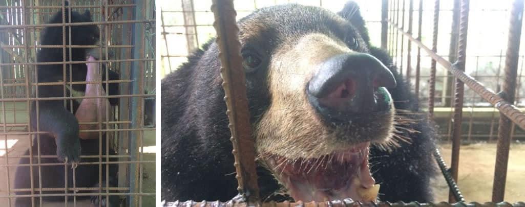 La difícil vida del oso Nyan htoo por tener una lengua de casi tres kilos