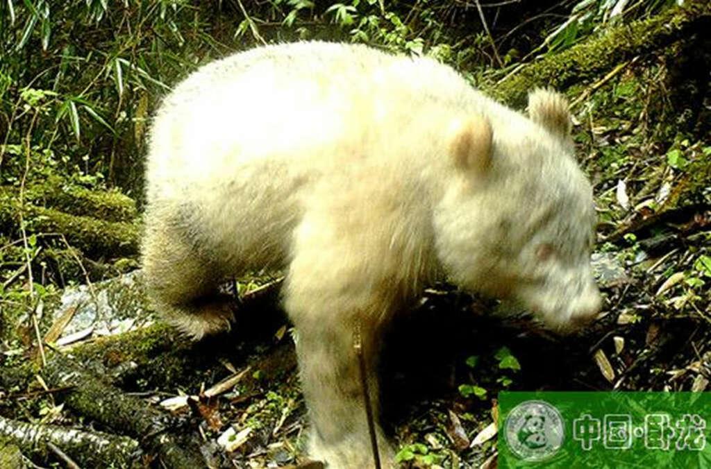 Toman la primera fotografía de un panda gigante albino en el mundo.